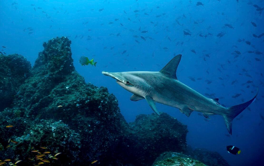 Ein Hai im Meer vor der Galapagosinsel mit Fischen