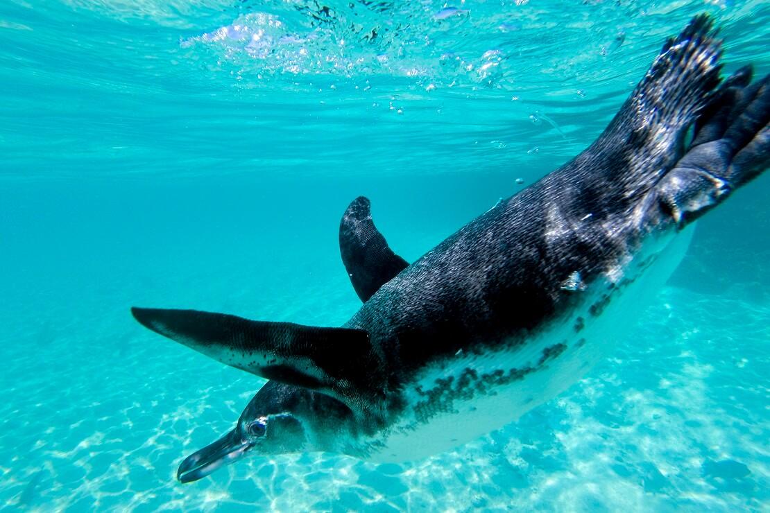 Pinguin schwimmt im Meer der Galapagosinseln