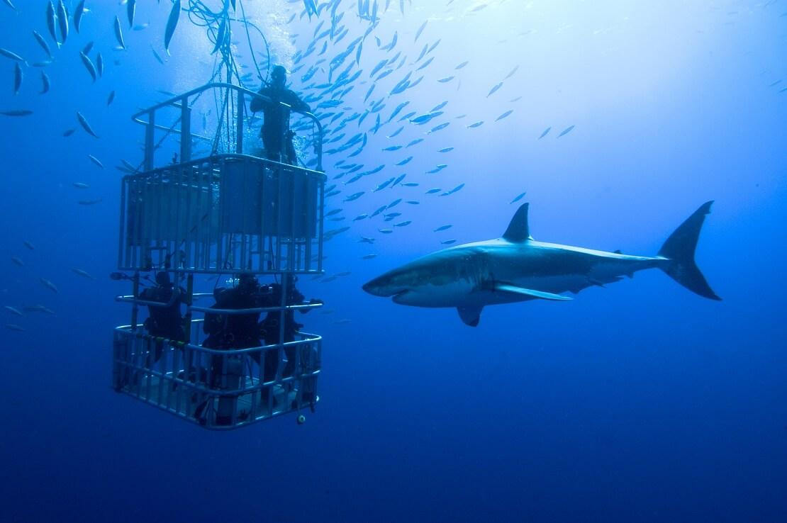 Taucher sind in einem Tauchkäfig unter Wasser vor ihnen schwimmt ein Hai