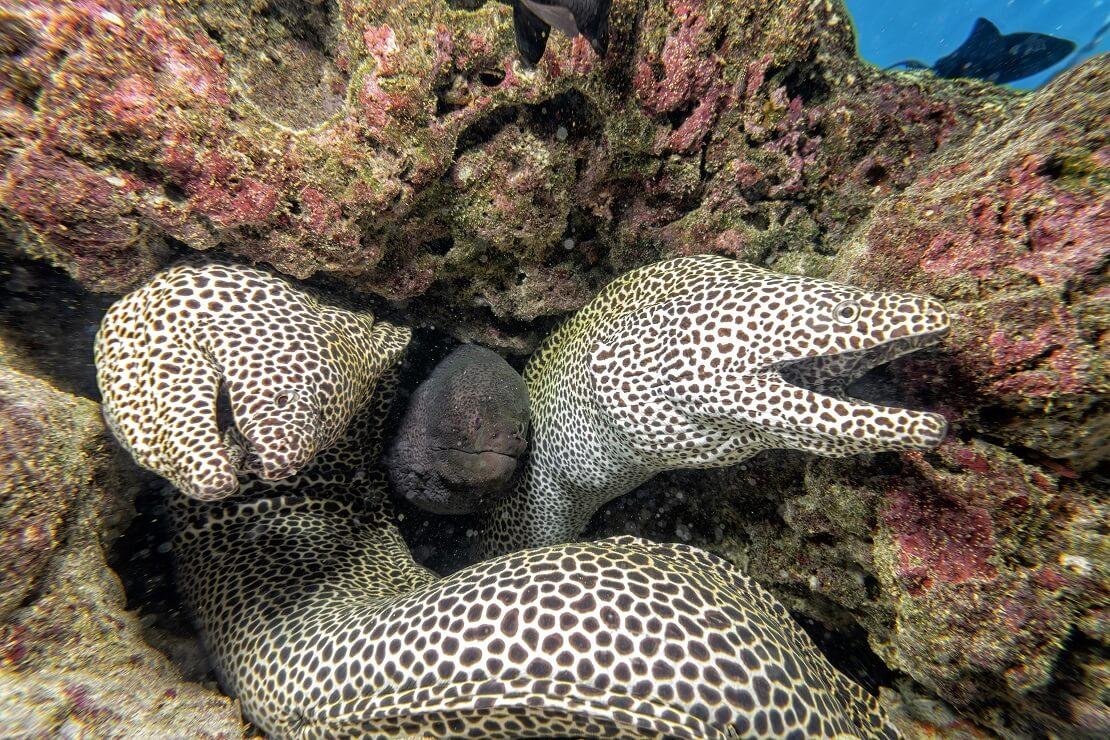 Zwei Muränen verstecken sich in einem Felsen unter Wasser