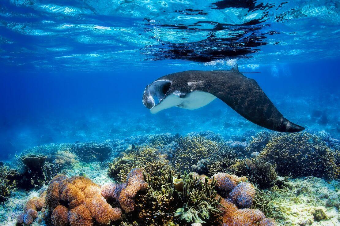Montarochen schwimmt am Meeresgrund über ein Korallenriff