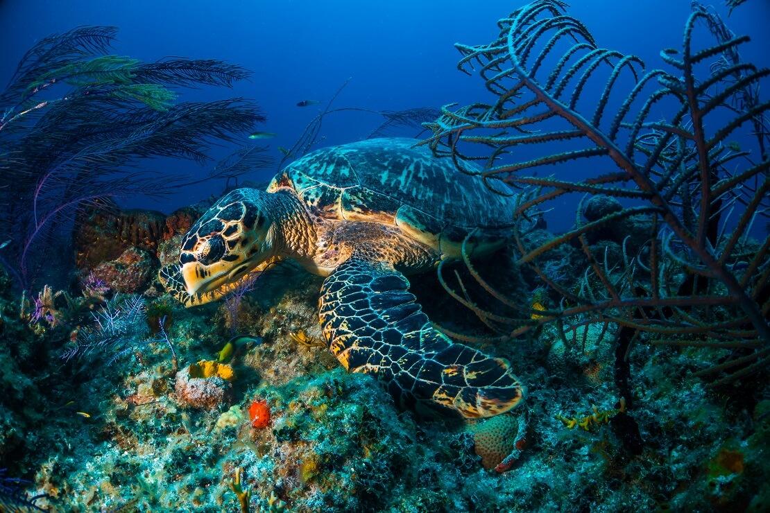 Eine Schildkröte schwimmt am Meeresgrund über Felsen und pflanzen