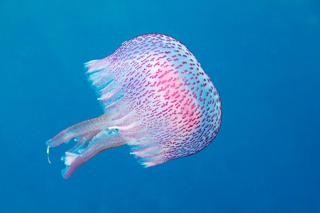 Qualle schwimmt im Wasser