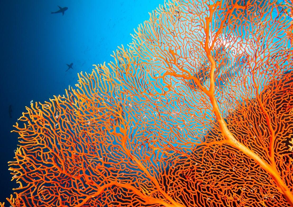 Orangenes Korallenskelett
