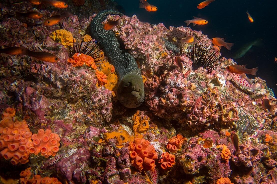 Muräne an einem bunten Korallenriff