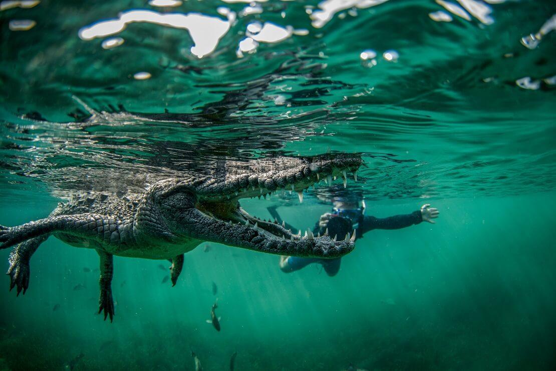Krokodil schwimmt mit offenem Maul hinter ihm ein Taucher