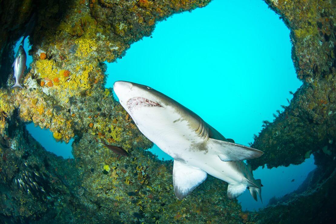 Hai schwimmt an einem Felsen mit Korallen