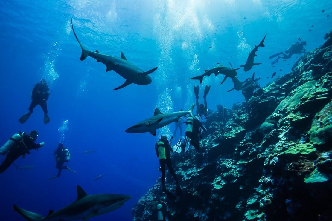 Taucher schwimmen mit Haien an einer Steilküste