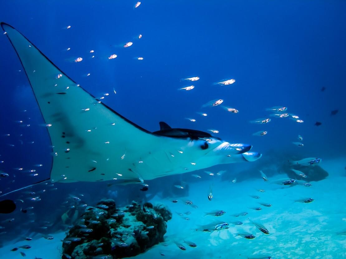 Mantarochen schwimmt mit Fischen am Meeresgrund