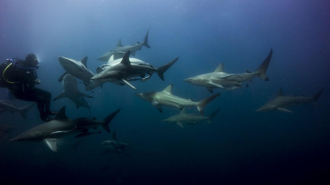 Taucher schwimmt mit vielen Haien im Wasser