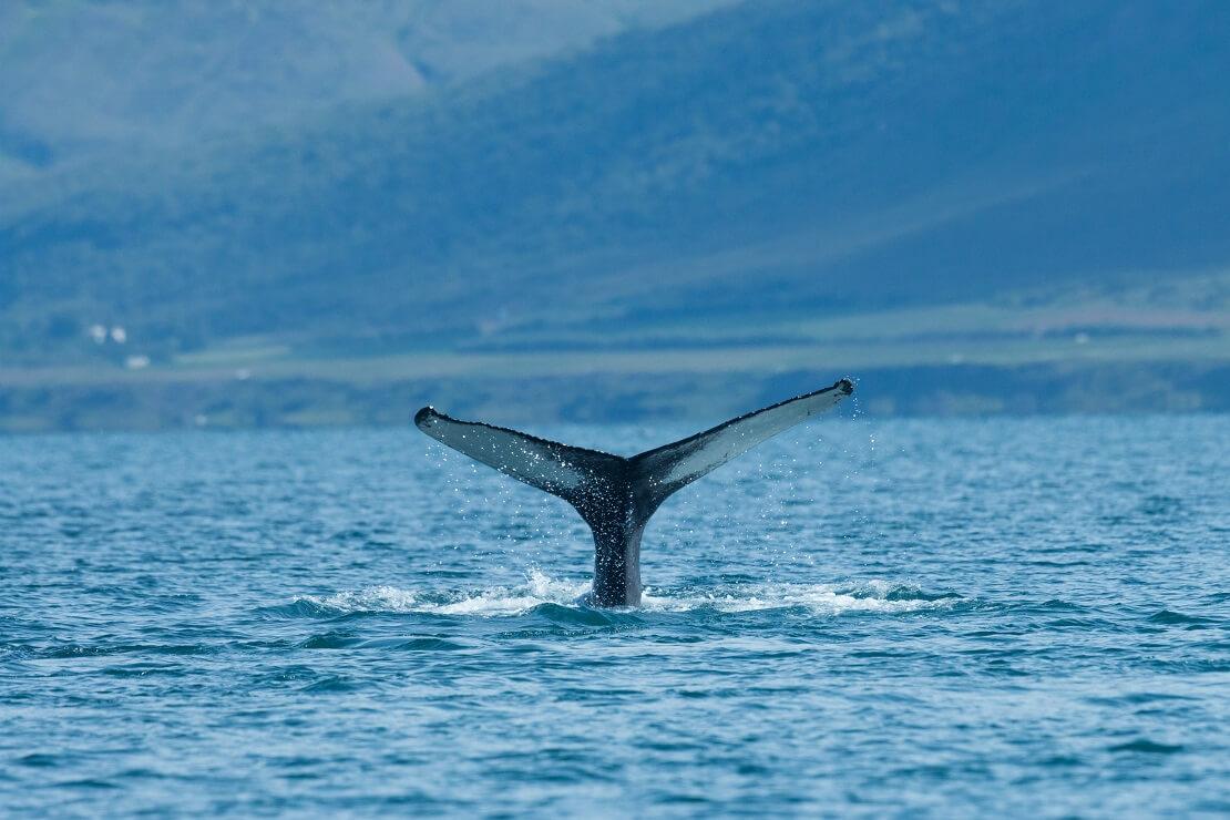 Walflosse an der Wasseroberfläche