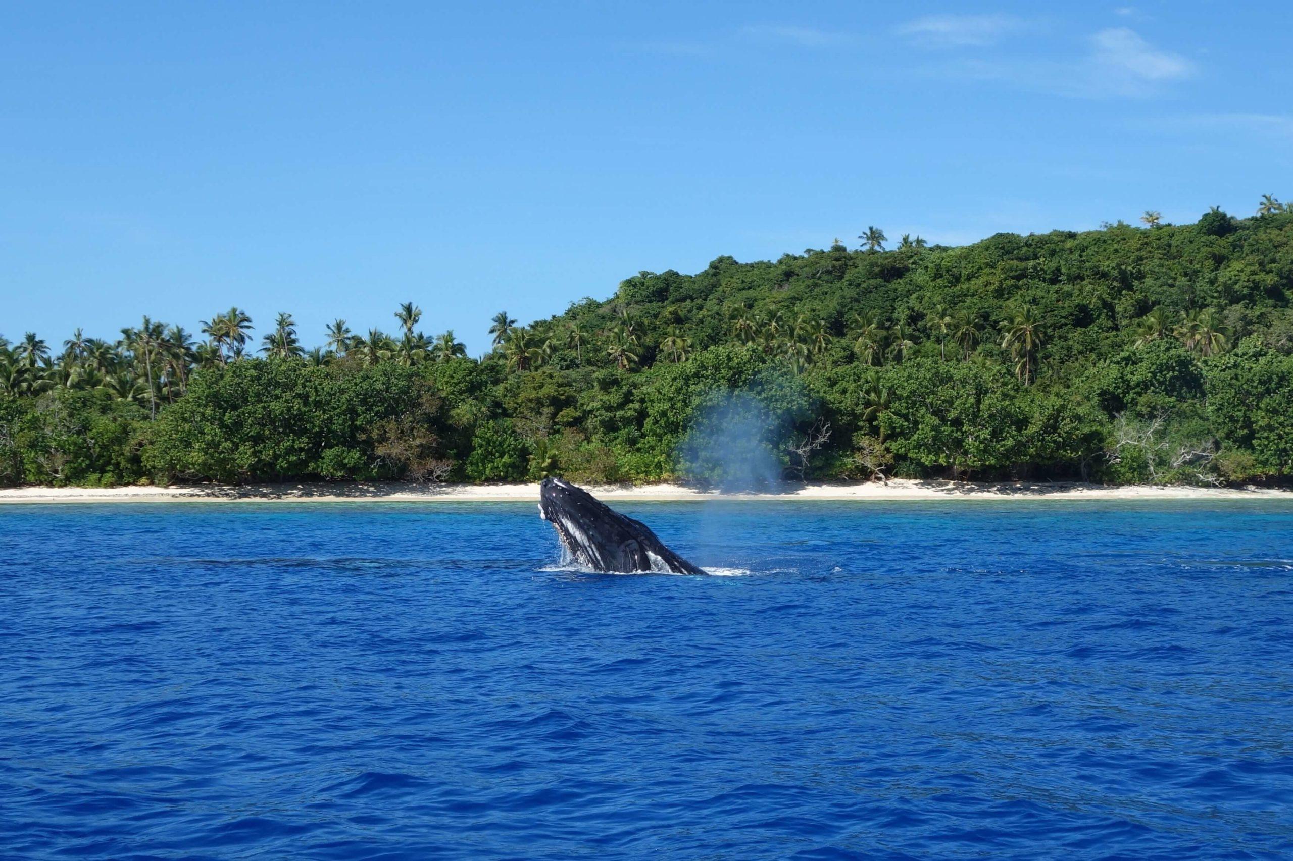 Ein Wal vor der Küste von Tonga im Hintergrund Berge