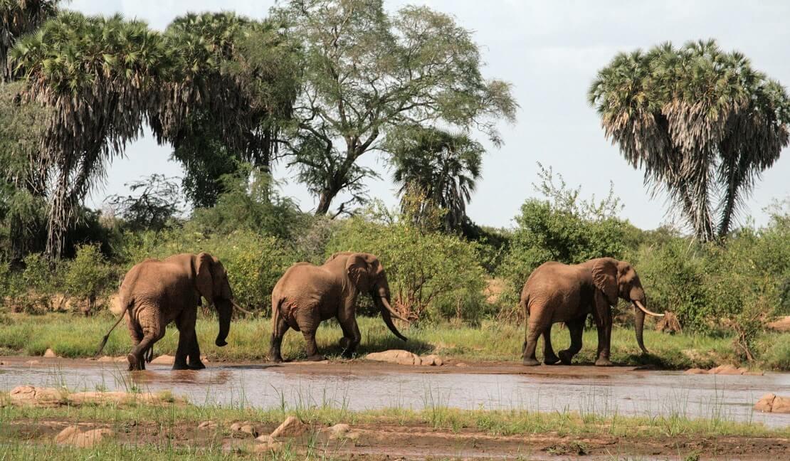 Elefanten laufen an einem Fluss entlang in Kenia