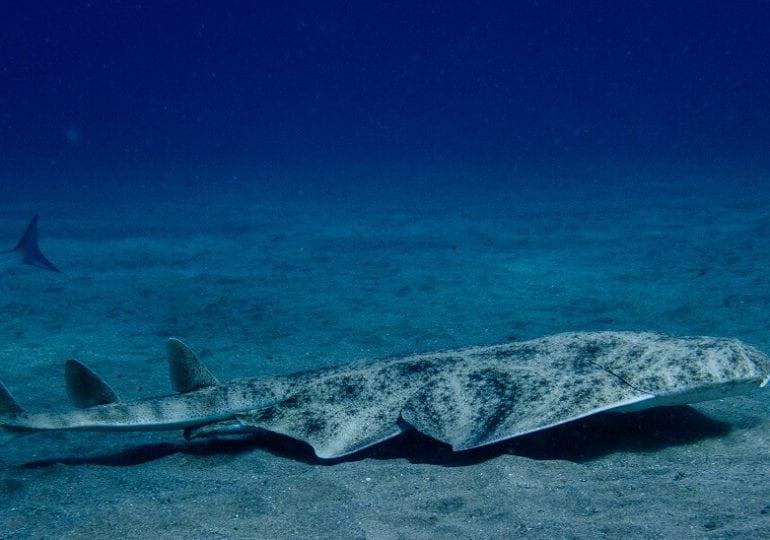 Kanarische Inseln: Besonderer Tauchgang mit Engelhaien