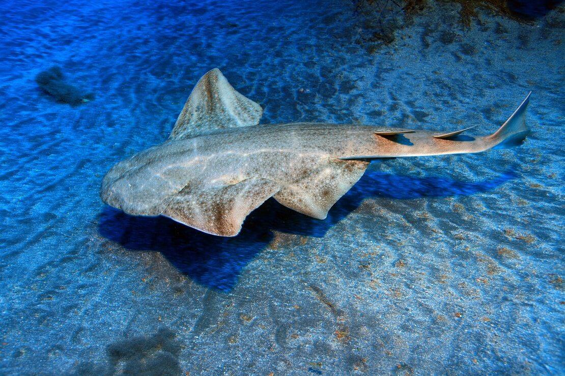 Engelhai schwimmt über dem Meeresgrund