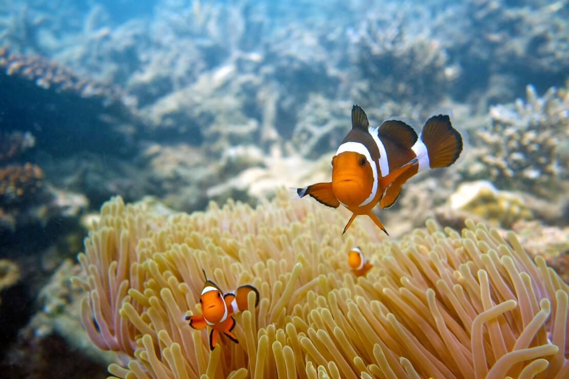Anemonenfische an Koralle