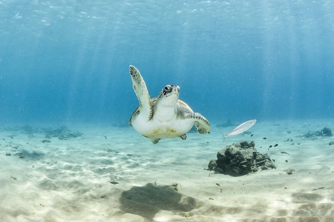 Schildkröte unter Wasser in Aruba
