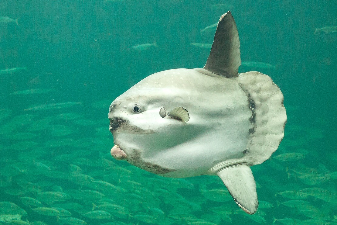 mondfisch-vor-fischschwarm