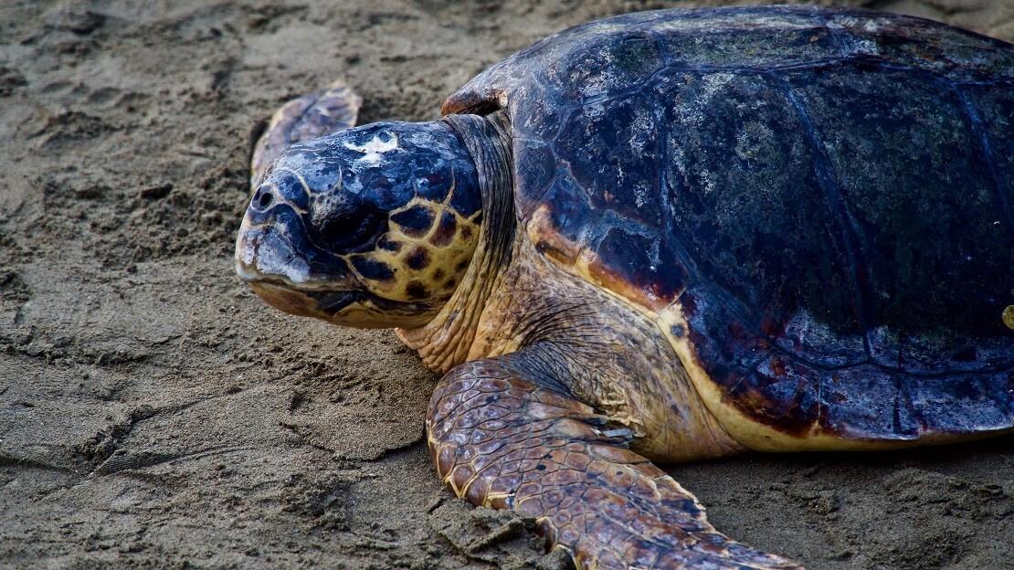 Schildkröte liegt auf dem Sand