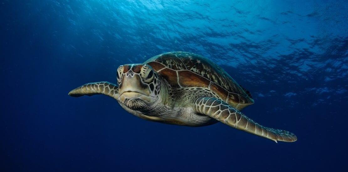 Riesige Rettungsaktion mit 5.000 Schildkröten
