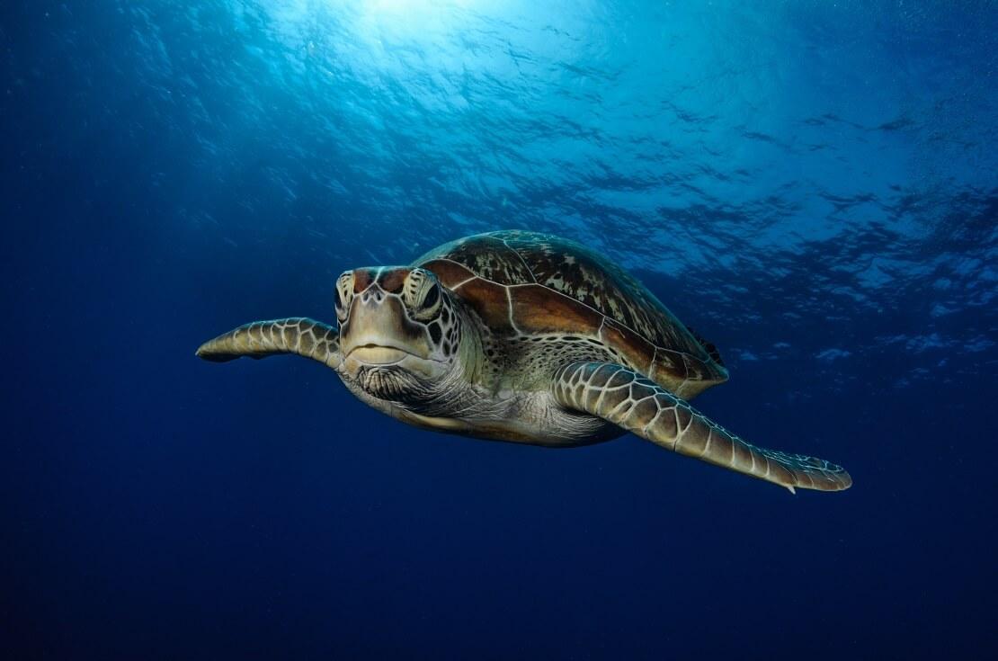 Schildkröte taucht im blauen Meer