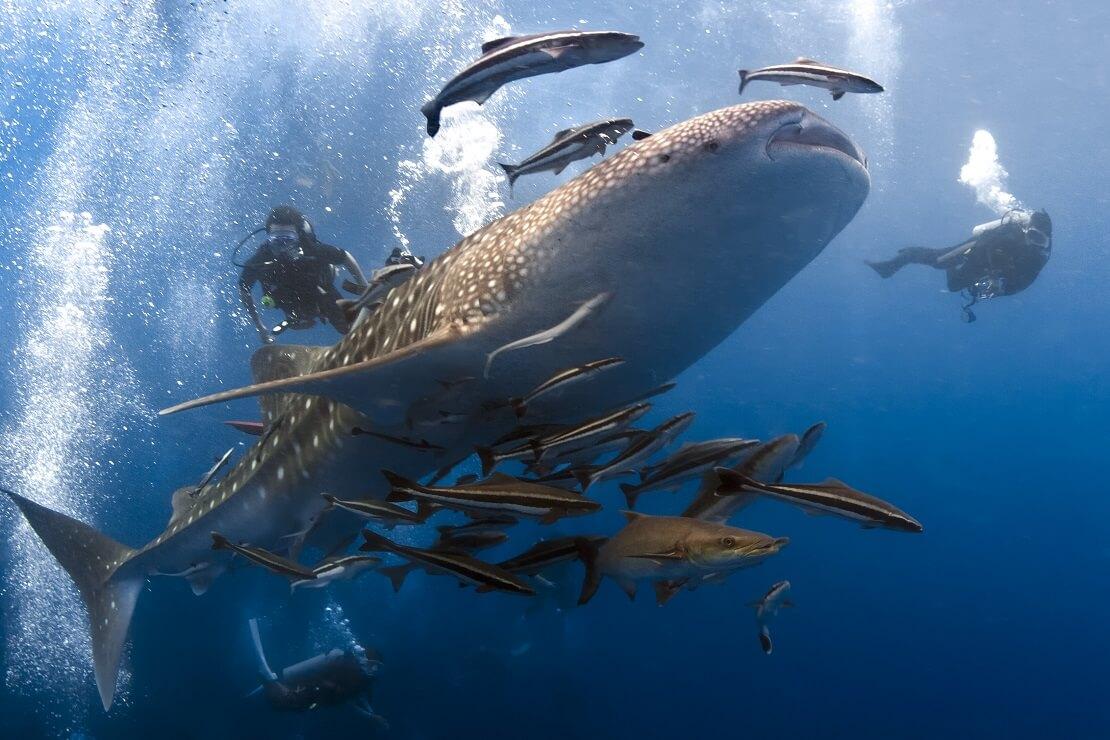 Ein Walhai schwimmt mit einem Fischschwarm