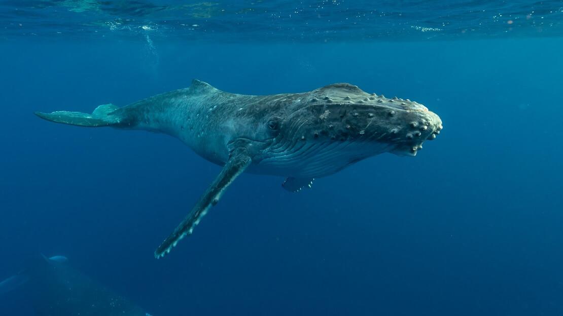 Ein Buckelwal im Atlantik