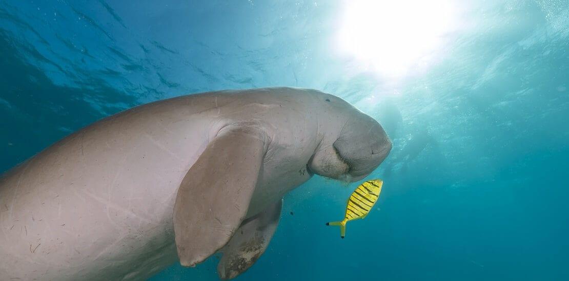 Dugong: Der Unterwasser-Cousin des Elefanten