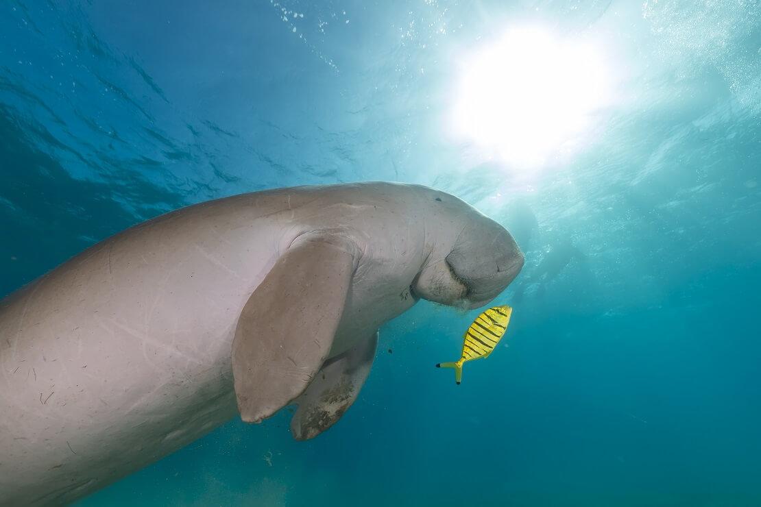 Ein Dugong schwimmt mit einem gelben Fisch in den Strahlen des Sonnenlichts