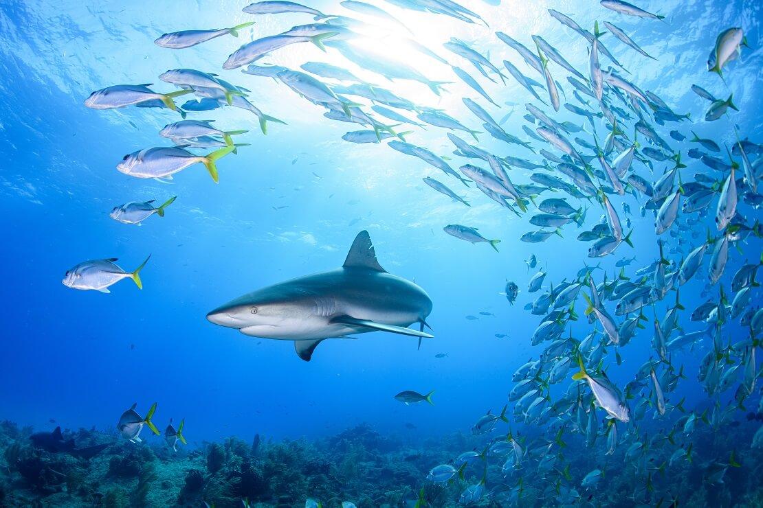 Ein Hai schwimmt durch einen Schwarm von Fischen