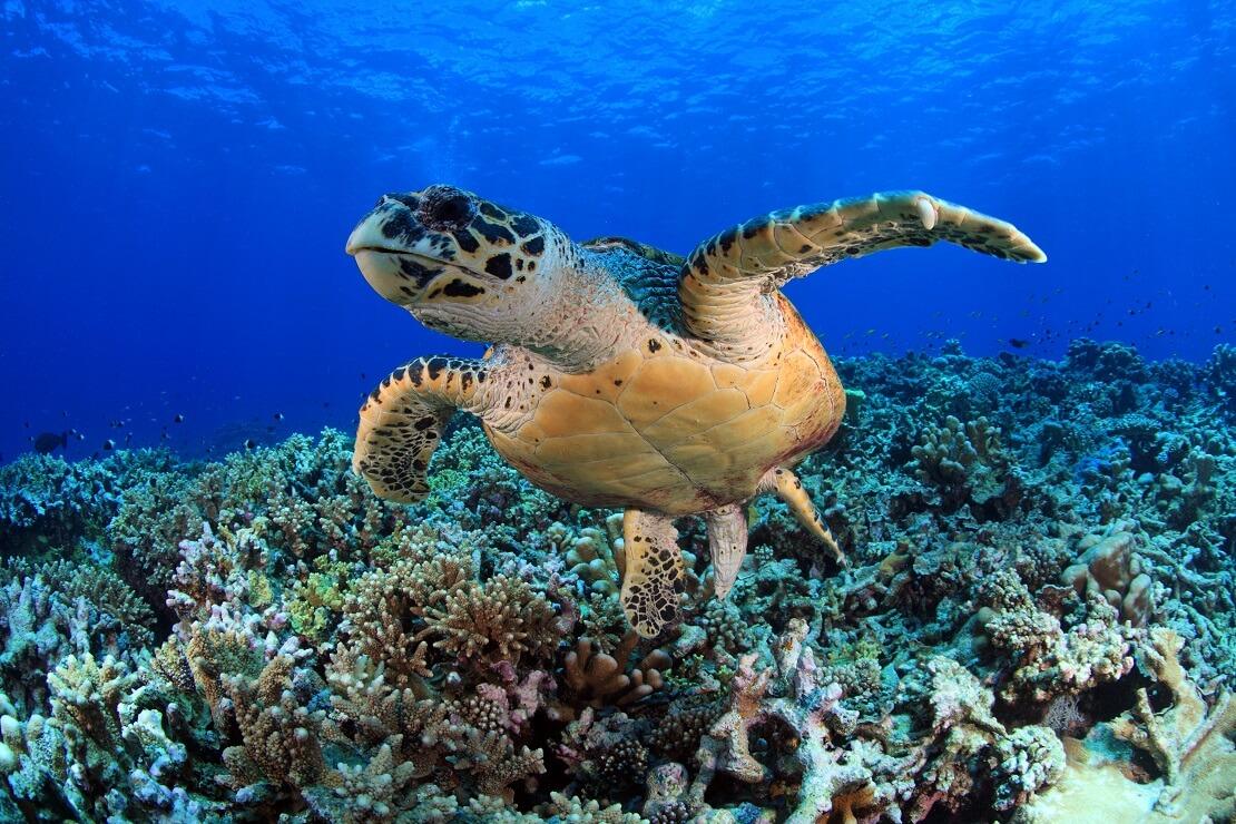 Karettschildkröte in den Gewässern des Ningaloo Riffs