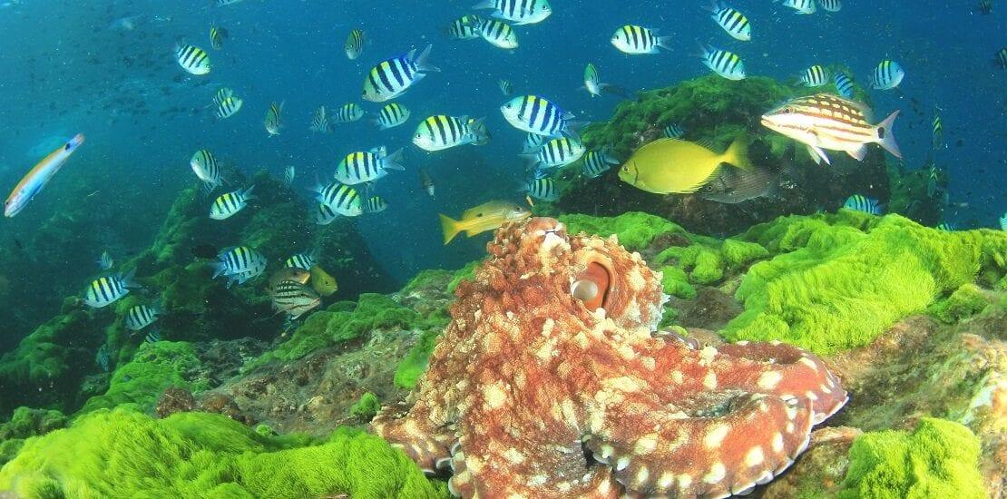 Der Gewöhnliche Kraken: Das Genie der Tiefe