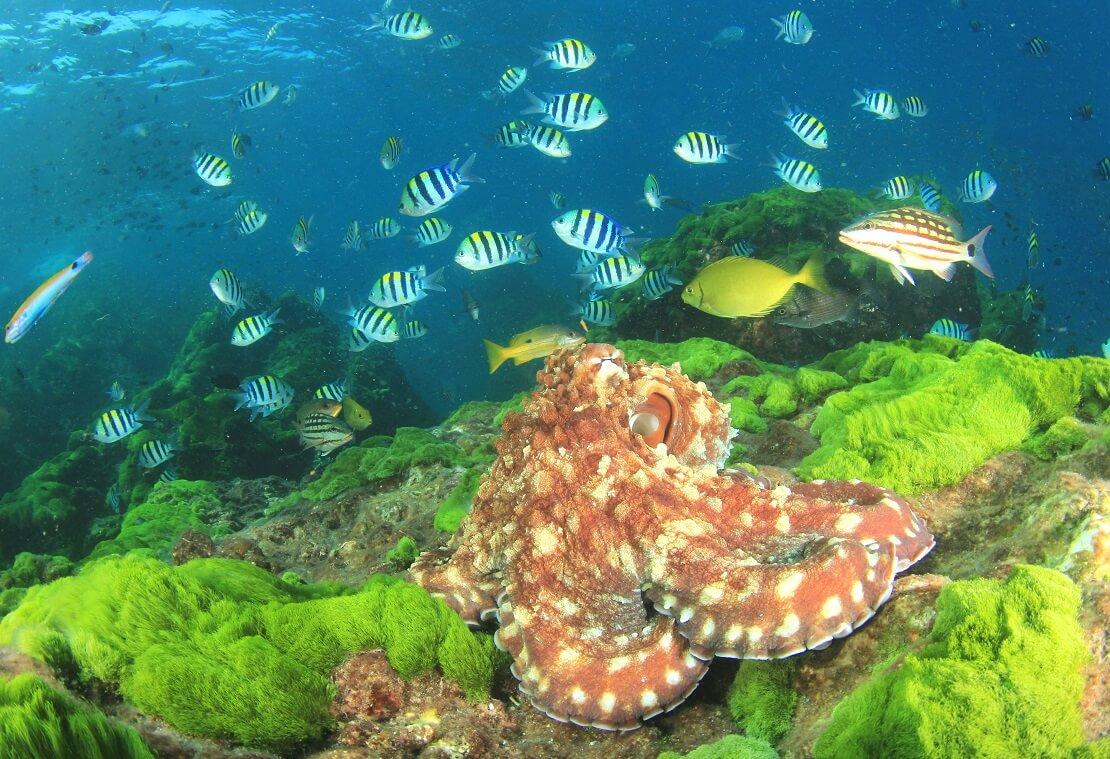 Orange Krake mit hellen Punkten mit Fischen im Meer