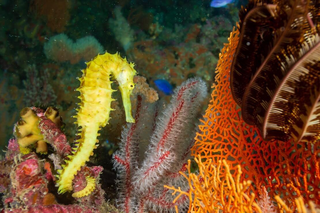 Tigerschwanz-Seepferdchen in buntem Korallenriff