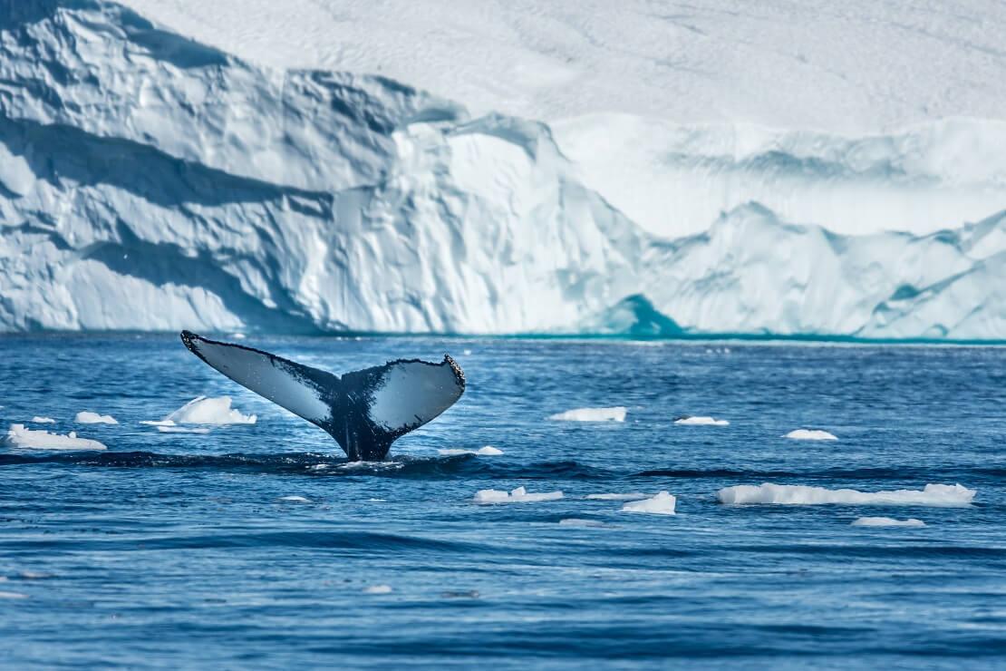 Ein Wal taucht vor den Eisbergen Grönlands ab