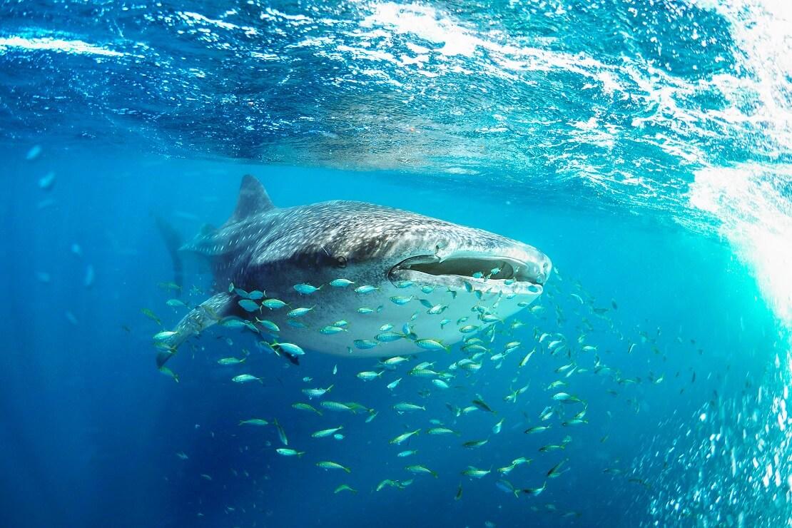 Ein Walhai schwimmt mit einem Schwarm von Fischen