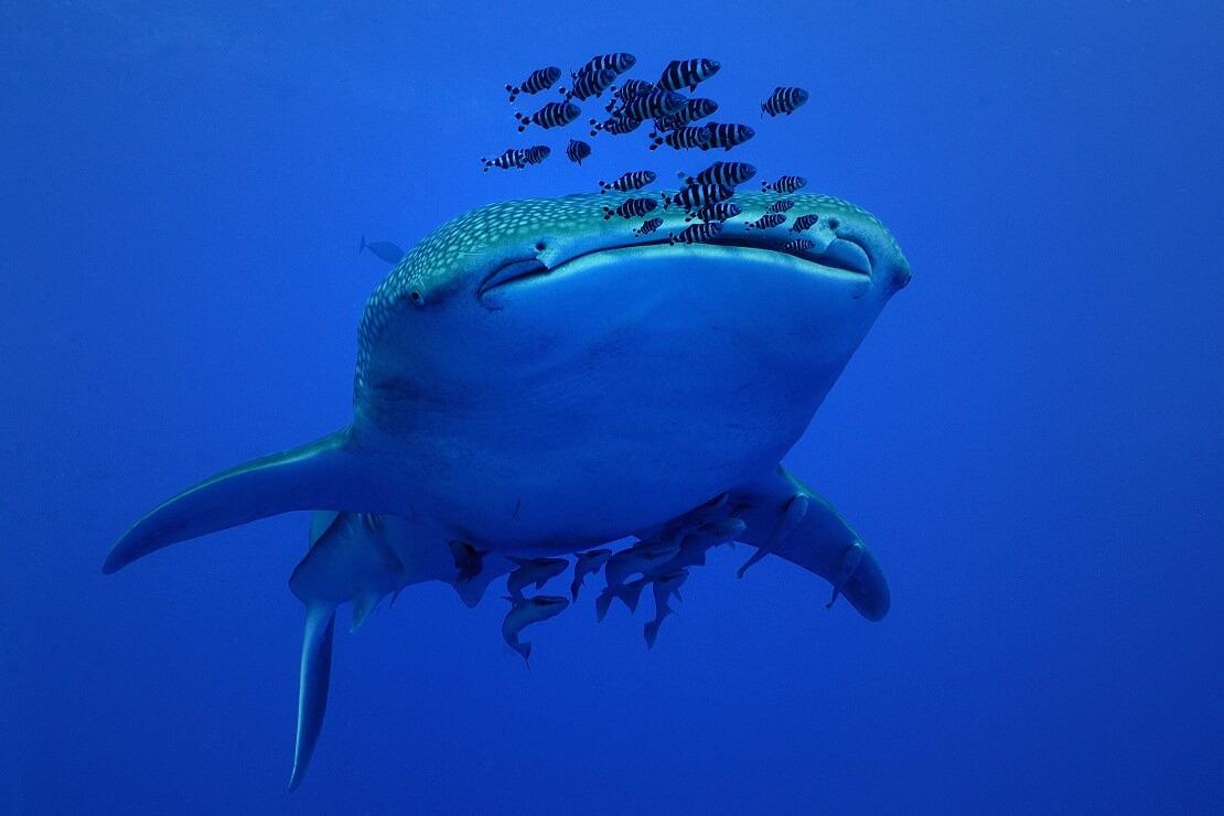 Walhai von vorne mit Fischen