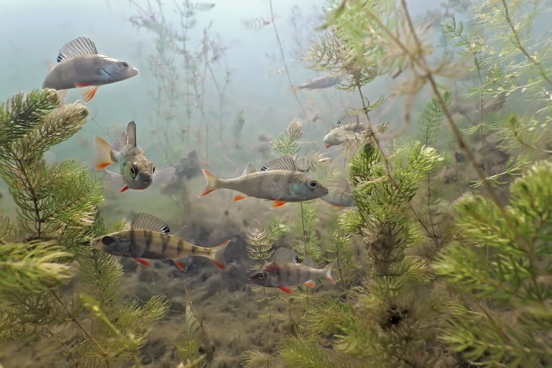 Ein Schwarm Barsche im Sundhäuser See