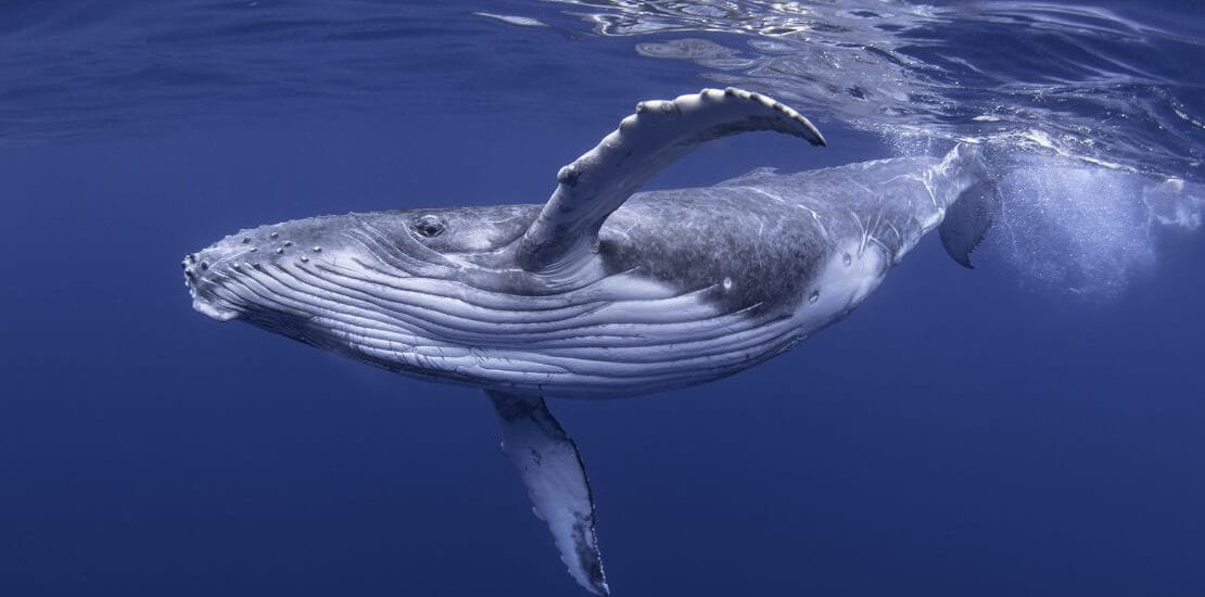 Buckelwale: akrobatische Sänger der Ozeane