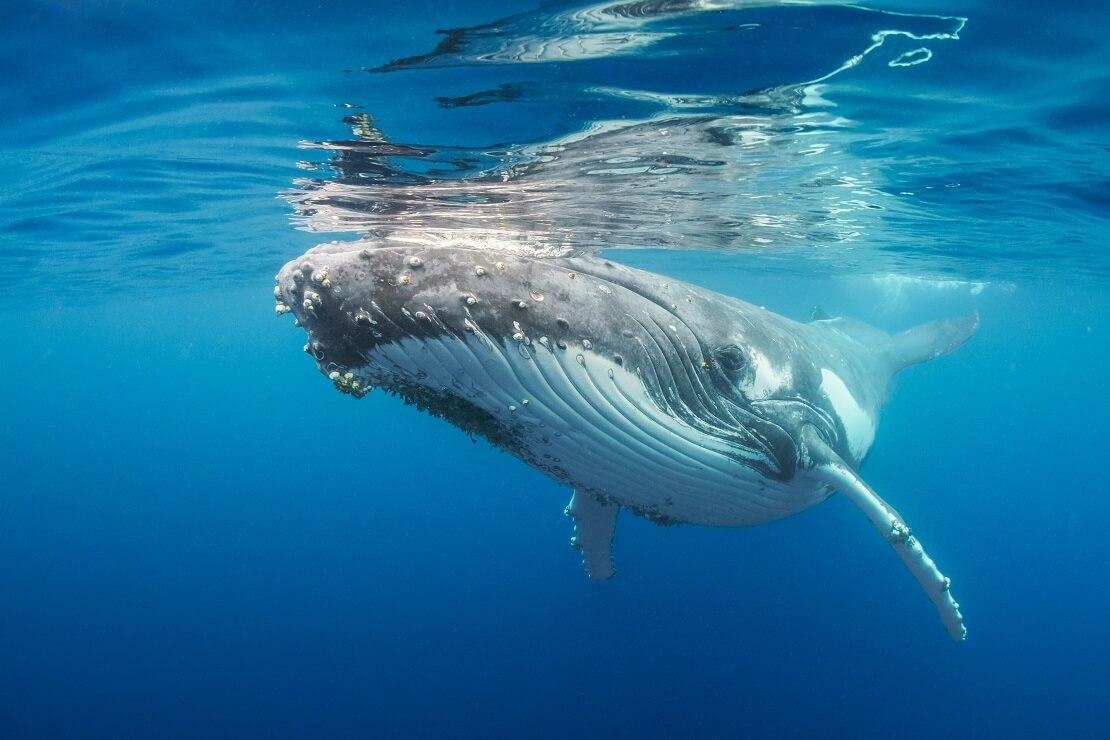 Buckelwal direkt unter der Meersoberfläche
