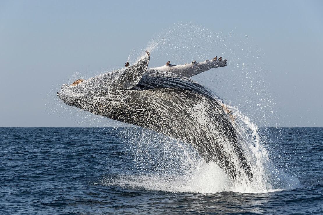 Buckelwal während eines Sprungs
