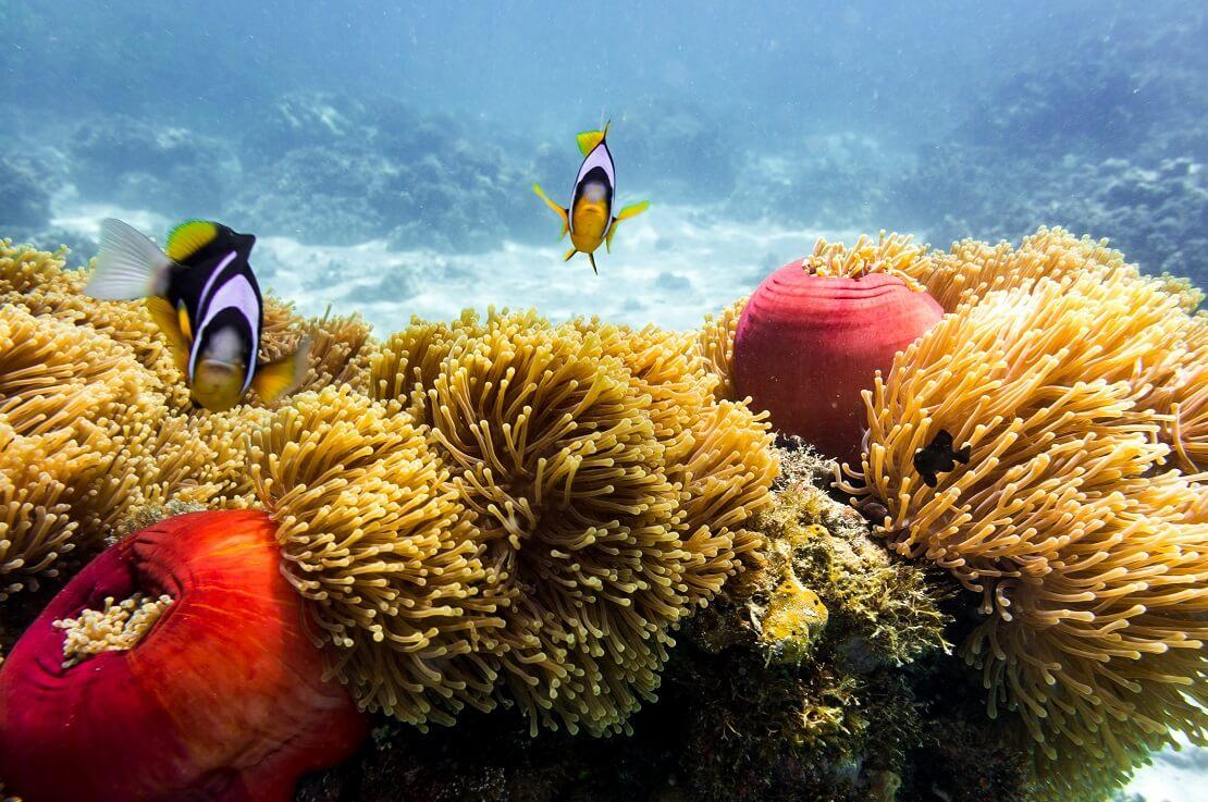 Zwei Clownfische über gelben Anemonen