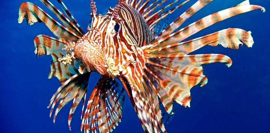 Der Feuerfisch: Einer der giftigsten Fische der Welt