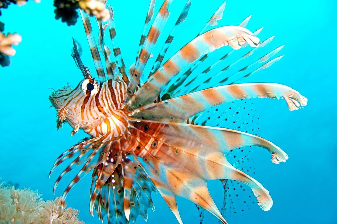 Feuerfisch in hellblauem Wasser