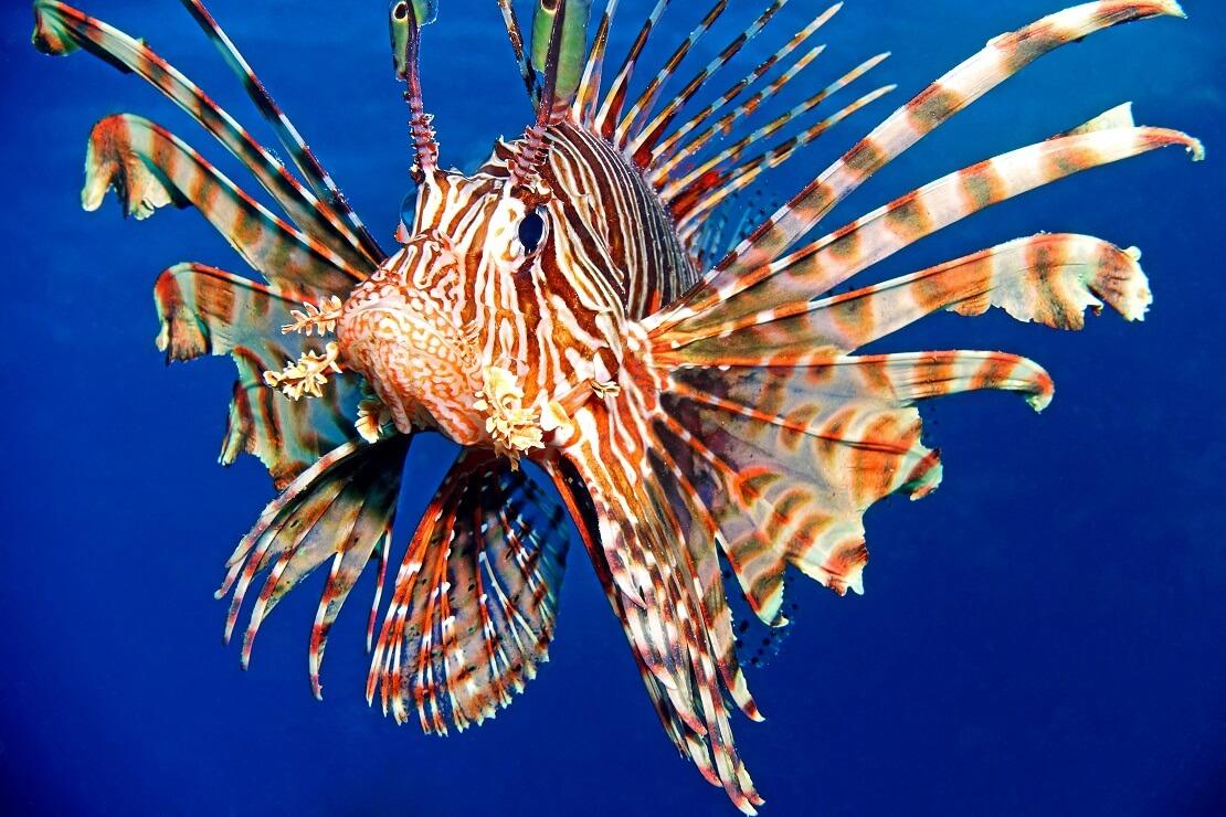 Ein Feuerfisch im Meer