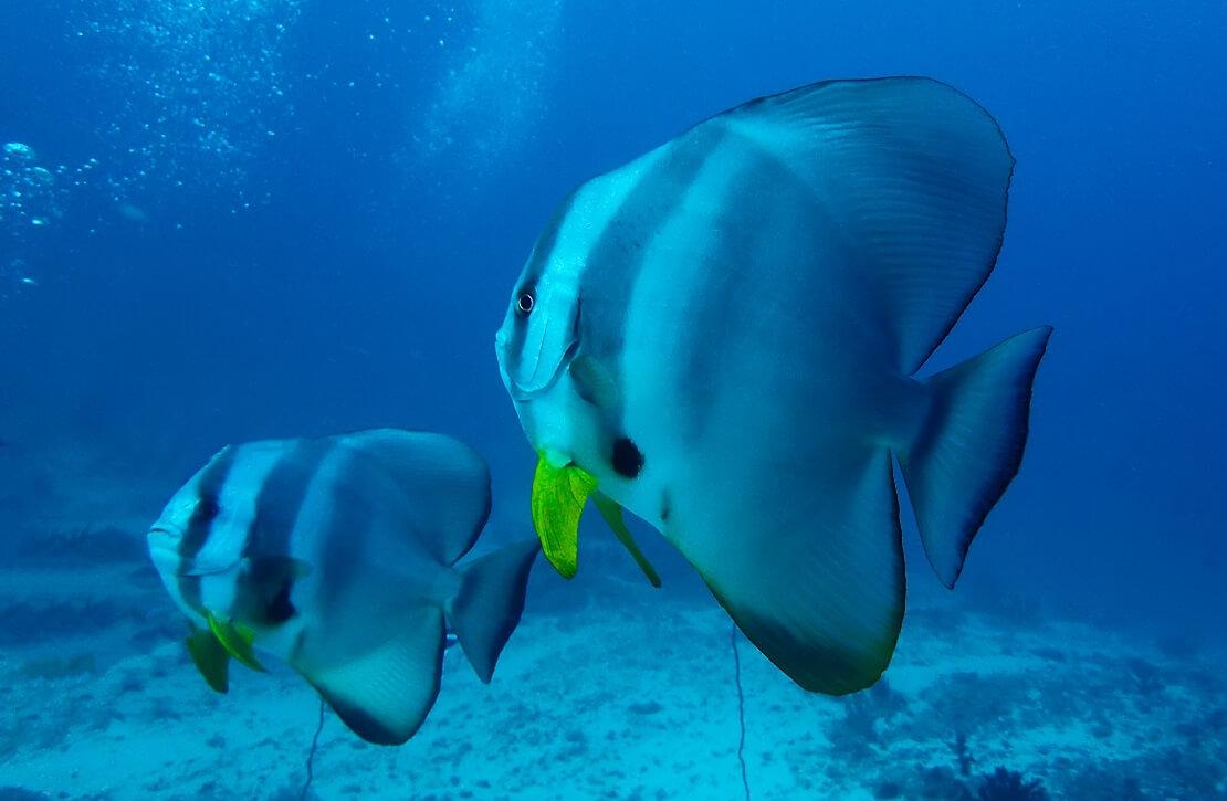 Zwei Fledermausfische