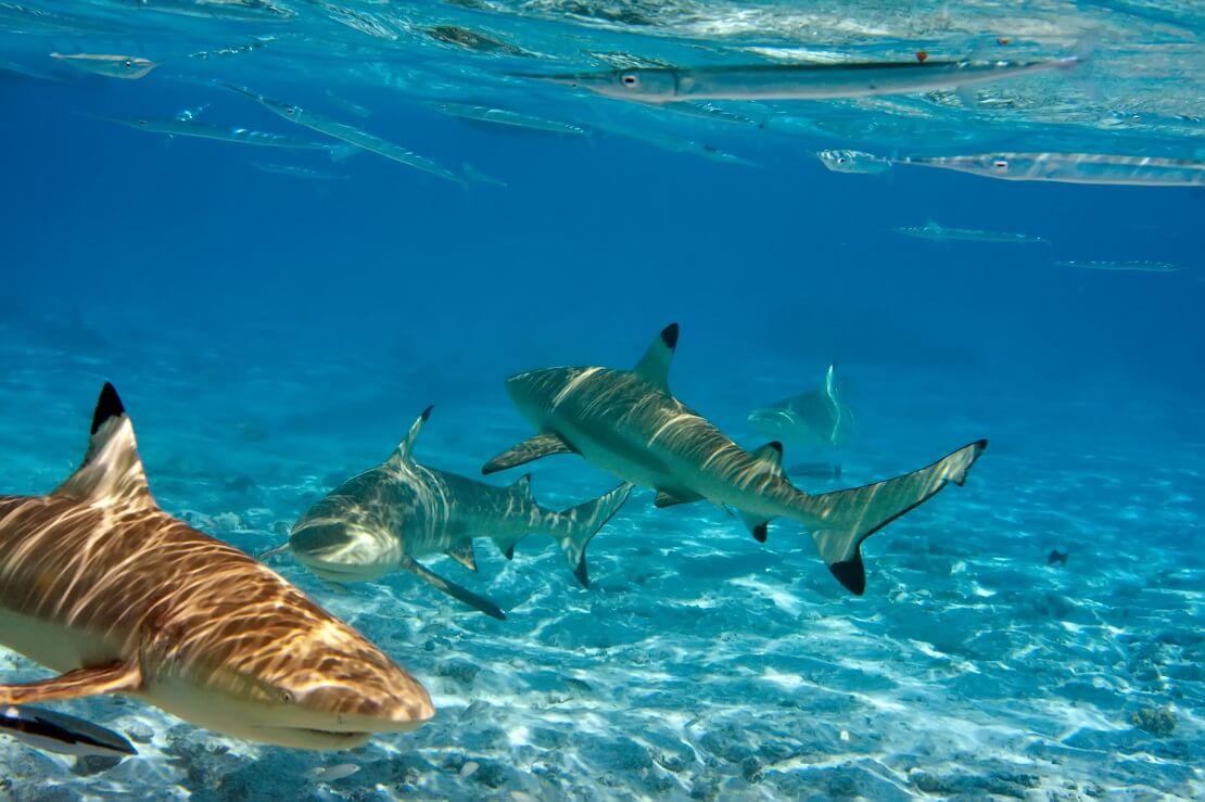 Mehrere Haie unter Wasser