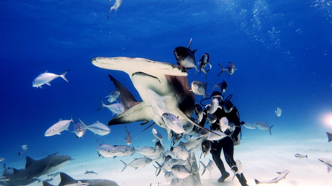 Hammerhai mit einem Taucher und mehreren Fischen