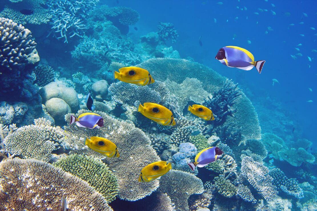 Gelbe und blaue Riff-Fische in einem Korallenriff