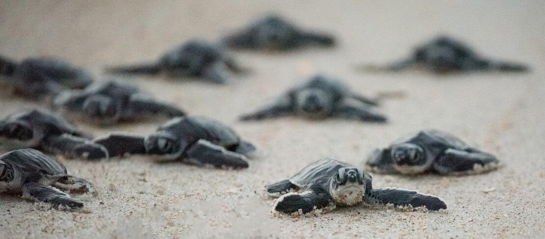 Schildkrötenbabys auf dem Sand